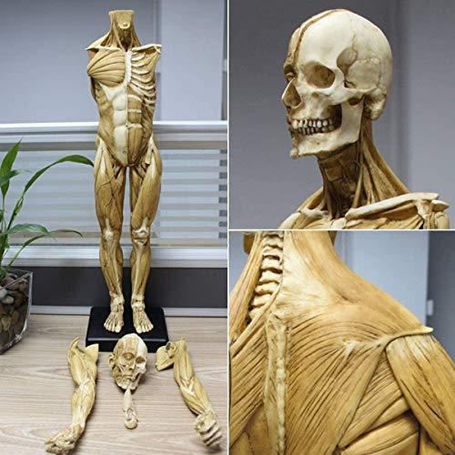 Männliche Anatomie-Figur Menschliches Muskelskelett Anatomisches Modell 23,6 Zoll / 60 Cm Gemälde Skulptur Anatomische Referenz Für Künstler
