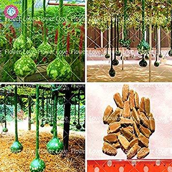 Vistaric 10 stücke Chinesische Flaschenkürbis Samen Klettern Organische Gemüsesamen Lange Kalebasse Samen Kunsthandwerk Pflanzen Für Garten