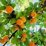 100 semillas de caqui que crecen tu propia fruta amarilla resistente al frío, vitalidad exuberante adecuado para cualquier persona que quiera plantar