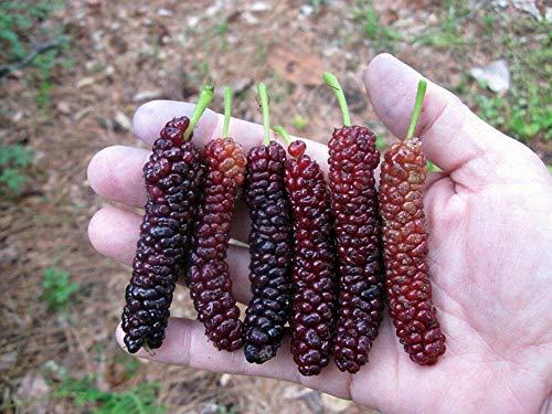 Morus 'Pakistani' (Mulberry) one Starter...