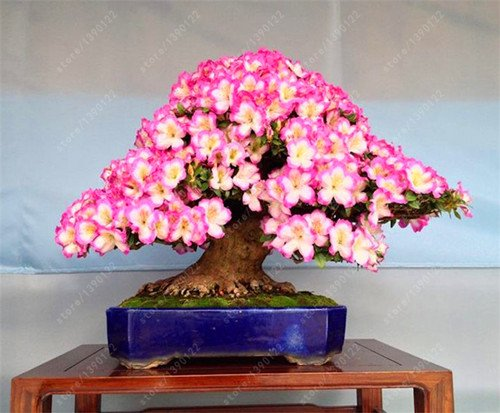 10 Pcs / sac rares 18 variétés de graines Sakura Japanese Cherry Blooms bonsaï Flower tree Graines de sakura DIY Maison & Jardin des plantes