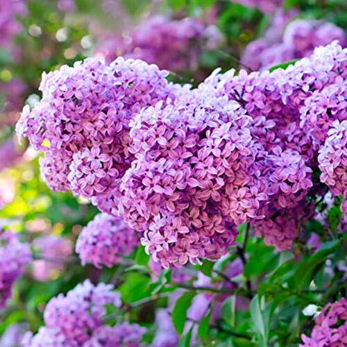 Mggsndi 300Pcs Lilac Flower Seeds Ornamental Plant Seed Non-GMO Easy Grow for Garden Farm Bonsai Purple Lilac Flower Seeds