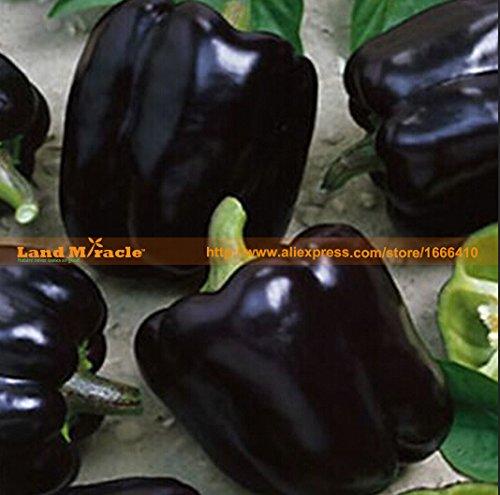 20 graines / paquet, Rare Poivron Chornyy Kon - Black Horse Heirloom Organic Vegetable Seed Terre Miracle # M441