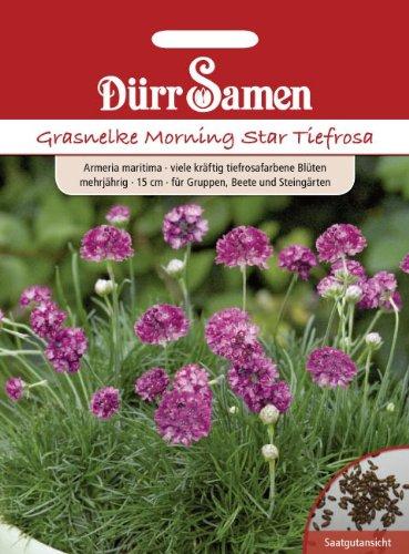 Grasnelke Morning Star Tiefrosa