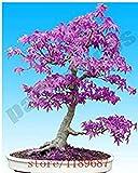 20 Pz viola giapponese Acero bonsai dei semi di fiori semi di albero semi Pianta in vaso per la casa e il giardino