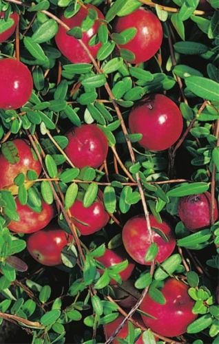 Vaccinium macrocarpon Cranberry - Moosbeere, Kranichbeere, Kranbeere