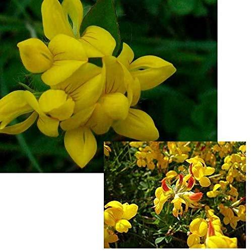 GETSO Graines Paquet Plantes: Pas 4,000 SeedsCorniculatus FlowersYellow Clover Graines