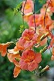 20 Orange Hummingbird Trumpet Vine Campsis Radicans Attracts Hummingbirds Flowers Seed Planting Outdoors Garden
