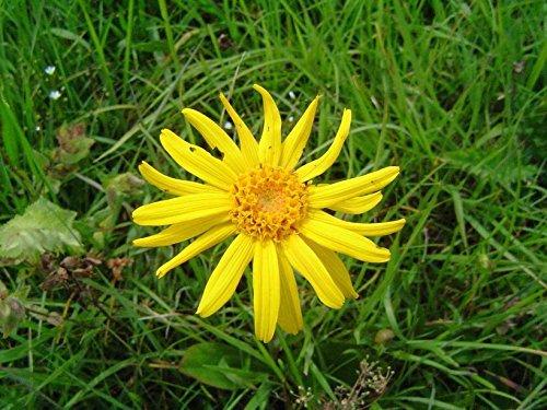 Asklepios-seeds® - 500 Samen von Arnica montana, Bergarnika, Bergwohlverleih, Arnika, geschützte Art