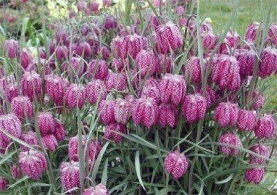 Schachbrettblume (Fritillaria meleagris) 25 Samen
