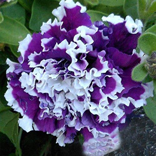 Ncient 200 pcs/Sac Graines Semences de Fleurs Pétunias Nains, Fleurs Seed Plantes Vivaces Graines à Planter Plante Rare Bonsaï de Jardin Balcon