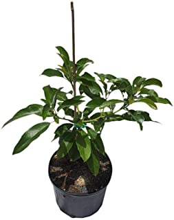Winter Mexican Avocado Tree Cold Hardy, Grafted, 3 Gal Container from Florida