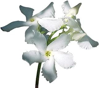 Asiatic Star Jasmine Plant -Trachelosperumum - FRAGRANT - 2.5