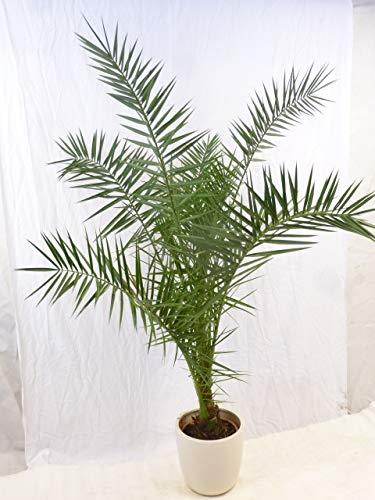[Palmenlager] - Phoenix canariensis - kanarische Dattelpalme - 160/180 cm // dicker Stamm // Indoor & Outdoor Palme