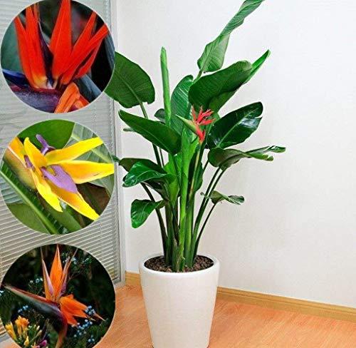Beautytalk-Garten Paradiesvogelblume Strelitzia Samen 20/50 Pcs Dekoration Blüten Pflanzensamen Bonsai Strelitzia Zimmerpflanzen,Barkon, Garten