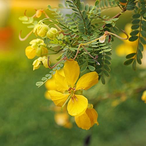 Outsidepride Wild Senna - 100 Seeds