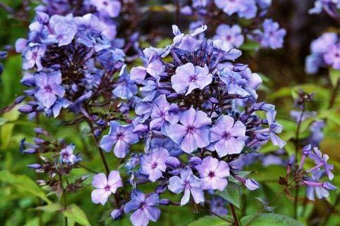 Garten-Teppich-Flammenblume Farbe