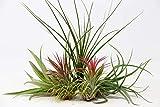 5 Air Plants Mixed Tillandsia - Large Plants - Indoor House Plants