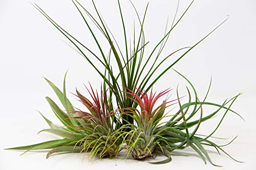 5 Air Plants Mixed Tillandsia - Large Plants - Indoor House Plants