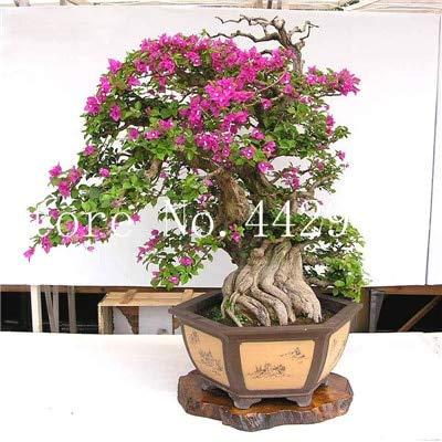 prime vista 50 pcs bonsaï Bougainvillier, plante en pot, fleur de Bougainvillier, variété complète, le taux en herbe 95%, pour la plantation de jardin: 15