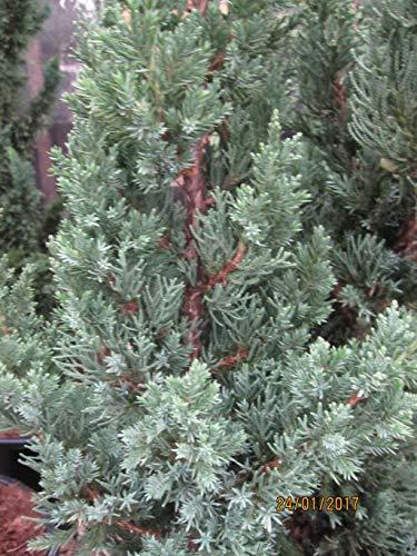 Juniperus chinensis Robusta Green - Chinesischer Wacholder Robusta Green