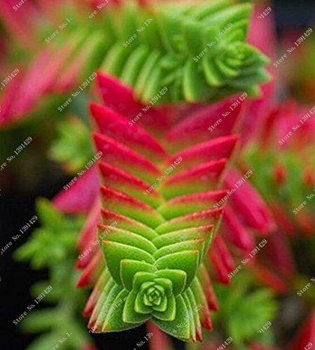 100pcs Divers Graines Lithops Living Stone Cacti Flower Cactus Seeds Rare Succulent Bonsai Colorful Meaty usine Easy Grow Garden