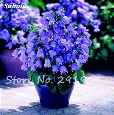 50 Pcs Campanula Graines rares Fleur Plante en pot Couleurs mélangées 95% Taux de bourgeonnement vivaces Plantes Bonsai Maison et Jardin 8