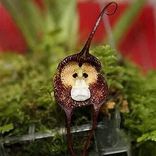 200PCS Monkey Face Orchids Seeds Multiple Varieties Plants Garden Bonsai Flower
