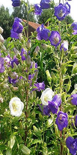 Les Graines Bocquet - Graines De Campanule À Grosse Fleur Variée - Graines Potagères À Semer - Sachet De 0.5Grammes