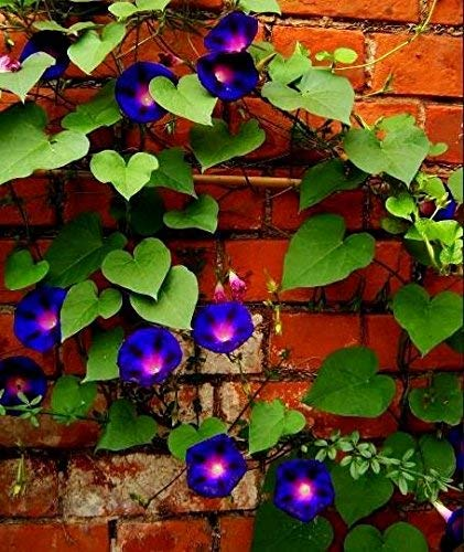 Morning Glory 'Zweifarbige Mischung' Samen - Ipomoea tricolor - 56 samen