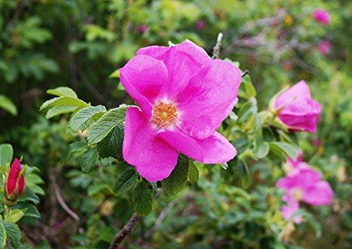 10 Stück Heckenrose Apfelrose im Container 40-60 cm - Rosa rugosa - floranza®