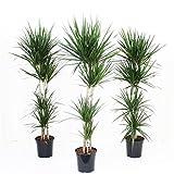 Altezza: 220 cm Diametro vaso: 40 cm Tipo di pianta: sempre verde Quando rinvasare: annualmente