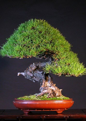 Tropica - Bonsai - Japanische Rotkiefer (Pinus densiflora) - 40 Samen