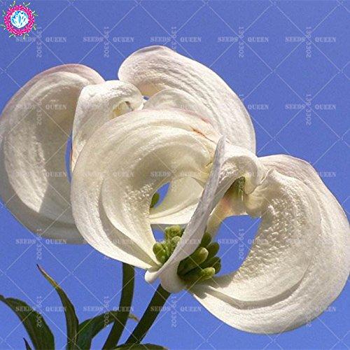Variété rare! 20 pcs/sac de graines Real kousa cornouiller belles graines de plantes bonsaï maison vivaces en pot et jardin 95% Survivre 3