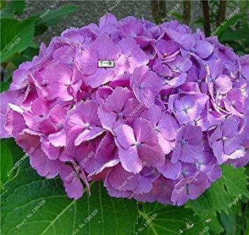 VISTARIC Lila: 30 PC/pack Grüne Hydrangea Samen Mixed Hydrangea Flowers Home Pflanze Bonsai Viburnum Blumensamen Anlage für Hausgarten Lila