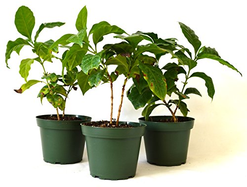 9Greenbox Arabica Coffee Plant Pot Set, 3 Inch x 4 Inch, (Pack of 3) Live Plant Ornament Decor for Home, Kitchen, Office, Table, Desk - Attracts Zen, Luck, Good Fortune - Non-GMO, Grown in the USA