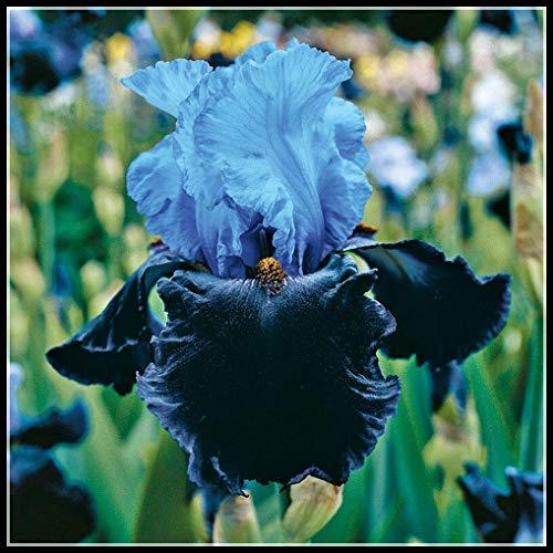 Iris Rhizome,Schwertlilien Winterhart Staude,Langlebige Pflanzen,Gartenpflanzen,Balkondekoration,Exotisch,Einheimisch-10 Iirs* Zwiebels