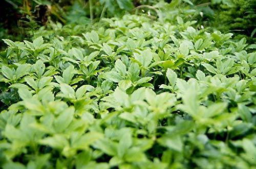 100 x Pachysandra terminalis 'Green...