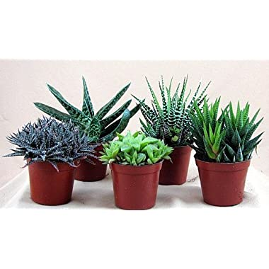 Haworthia Collection 5 Plants - Easy to Grow/hard to Kill - 3  Pot From Jmbamboo