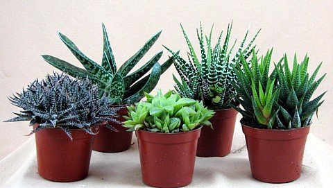 Haworthia Collection 5 Plants - Easy to Grow/hard to Kill - 3' Pot From Jmbamboo