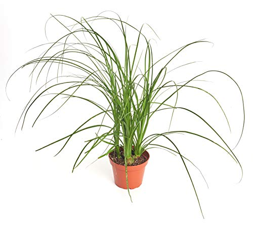 Shop Succulents | Beaucarnea Recurvata Ponytail Palm, Easy Care, Live Indoor House Plant in 4' Grow Pot, Pony Tail
