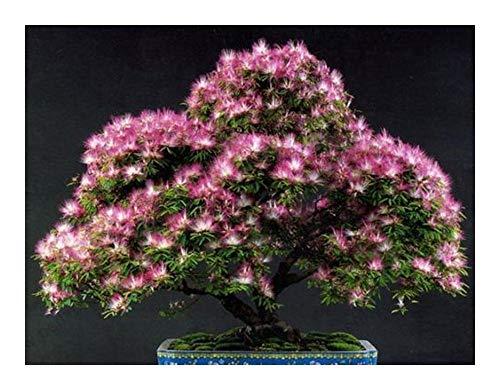 Albizia julibrissin - Seidenbaum - Seidenakazie - Schlafbaum - 15 Samen