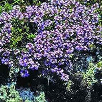 Elitely Bonsai Seeds Fresh 100 - Mutter kriechender Thymian Bodendecker