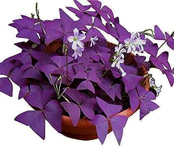 irish shamrock plants for sale