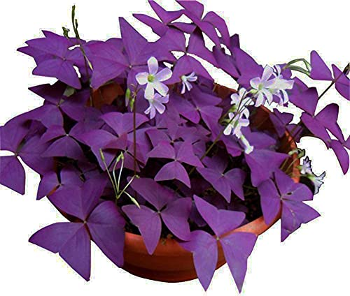 Oxalis Triangularis 10 Bulbs - Purple Shamrocks Lucky Lovely Flowers Bulbs Grows Indoor or Outdoor