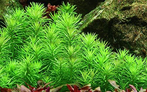 Tropica Aquarium Pflanze Pogostemon erectus Nr.053F Wasserpflanzen Aquarium Aquariumpflanzen