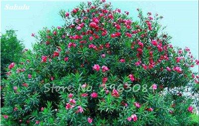 100 Pcs Nerium Oleander Flower Look Seed Tout comme les plantes Rose Fleur Bonsai jardin Arbre Quatre Saisons fleurs vivaces Easy Grow 14