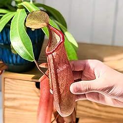 食虫植物 ウツボカズラ ネペンテス リンダ 5号吊り鉢 育て方説明書付き Nepenthes × Linda