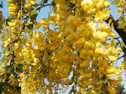 goldene Kette Baum, BLÜHENDE BAUM Gemeiner Goldregen YELLOW 30 Samen