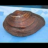 Zierfischtreff.de Teichmuschel, Anodonta cygnea XXL